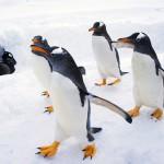 在北海道看 企鵝遊行