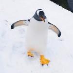 在北海道的小樽水族館可與企鵝一同散步