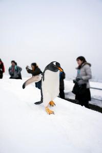 巴布亞企鵝眼睛上方有明顯的白斑,嘴細長,嘴角呈紅色。因模樣憨態有趣,步姿有如紳士般,十分可愛,因而又稱「紳士企鵝」