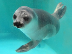 小樽水族館中的環海豹 Ribbon Seal
